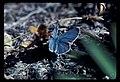 Blue butterfyl. 101978. slide (c4c145b95fd44a4fb07cb8139ef81964).jpg
