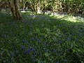 Bluebells, Rora Down - geograph.org.uk - 1302786.jpg