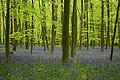 Bluebells and beech leaves, Brick Kiln Copse - geograph.org.uk - 791163.jpg