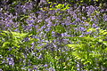 Bluebells in Draynes Wood (4041).jpg