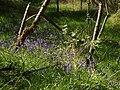 Bluebells in Waterperry Wood - geograph.org.uk - 1288846.jpg