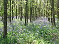 Bluebells in Whitfield Wood - geograph.org.uk - 419355.jpg