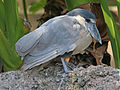 Boat-billed Heron RWD4.jpg
