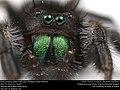 Bold jumping spider (Salticidae, Phidippus audax (Hentz)) (37133717314).jpg
