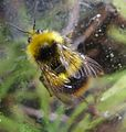 Bombus pratorum .male. - Flickr - gailhampshire.jpg