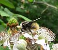 Bombus sp. (probably lucorum) - Flickr - gailhampshire.jpg