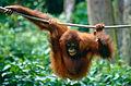 Bornean Orangutan (Pongo pygmaeus) (14562544106).jpg