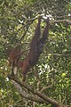 Bornean orangutan (Pongo pygmaeus), Tanjung Putting National Park 04.jpg