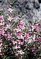 Boronia rosmarinifolia.jpg