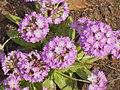 Botanischer Garten - Fruehlingsblumen (Spring Flowers) - geo.hlipp.de - 35113.jpg