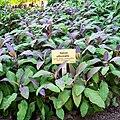 Botanischer Garten Berlin - Salbei.jpg