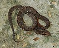 Bothrops atrox - Flickr - Dick Culbert.jpg