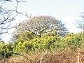 Bramble, bracken, whins and oak at Waun Hywel - geograph.org.uk - 331603.jpg