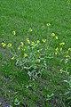 Brassica rapa var. rapa (16).jpg