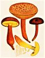 Bresadola - Boletus rubellus.png
