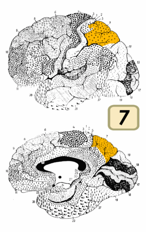 Brodmann area 7 - Image of brain with Brodmann area 7 shown in yellow