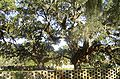 Brookgreen Gardens Oak Alley2.jpg