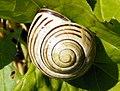 Brown-lipped Snail (Cepaea nemoralis) (8141187351).jpg