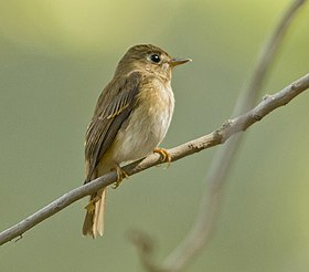 Brown Breasted Flycatcher at Rajkot.jpg