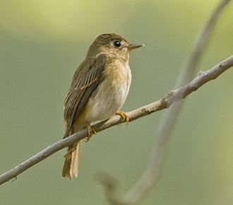 Brown-breasted flycatcher - Brown Breasted Flycatcher