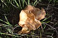 Brown Leafy Mushroom (3).jpg