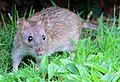 Brown Rat (Rattus norvegicus).jpg