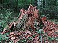 Brunatna zgnilizna drewna SR1.jpg
