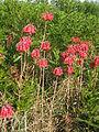 Bryophyllum delagoense habit4 (12079573106).jpg