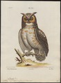 Bubo virginianus - 1700-1880 - Print - Iconographia Zoologica - Special Collections University of Amsterdam - UBA01 IZ18400085.tif
