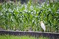 Bubulcus ibis (26203317614).jpg