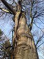 Buchen Biotopbaum.JPG