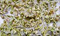 Buckwheat sprouts.jpg