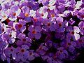 Buddleja Flutterby Lavender, flowers.jpg