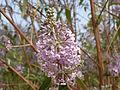 Buddleja officinalis in Jardin des Plantes 04.JPG