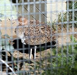 Buff-Crested Bustard.jpg