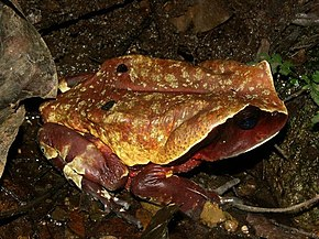 Description de l'image Bufo superciliaris01.jpg.
