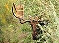 Bull Moose (Shiras) on Seedskadee National Wildlife Refuge (20967718851).jpg