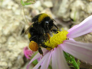 Bombini - Bumblebees are corbiculate (with pollen baskets)
