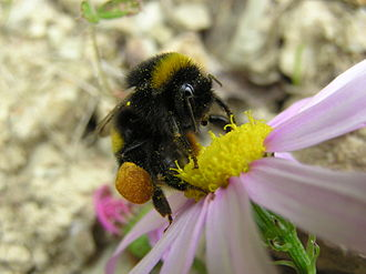 A bumblebee carrying pollen in its pollen baskets (corbiculae) Bumblebee 05.JPG
