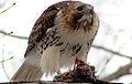 Buteo jamaicensis -near Philadelphia, Pennsylvania, USA -eating rabbit-8.jpg