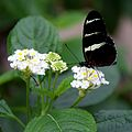 Butterfly at Chester Zoo 15.jpg