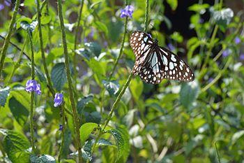 Butterfly bluecolour.jpg