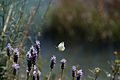 Butterfly on Isole di Brissago.jpg