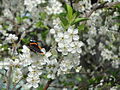 Butterfly on cherry blossoms.JPG