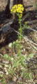 Butterweed (2944973693).png