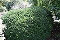 Buxus sempervirens Vardar Valley 3zz.jpg