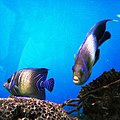 Cá chim xanh Nha Trang và cá khác.jpg