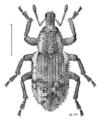 COLE Curculionidae Listronotus bonariensis.png