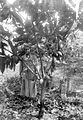 COLLECTIE TROPENMUSEUM Van deze geoculeerde cacaoboom in een cultuurtuin cloon type Susannadaal C1 zijn drie jaar na de oculatie 37 vruchten geoogst (30 in februari 1922 en 7 in september 1922) TMnr 10012237.jpg