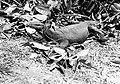 COLLECTIE TROPENMUSEUM Varanus salvator TMnr 10006434.jpg